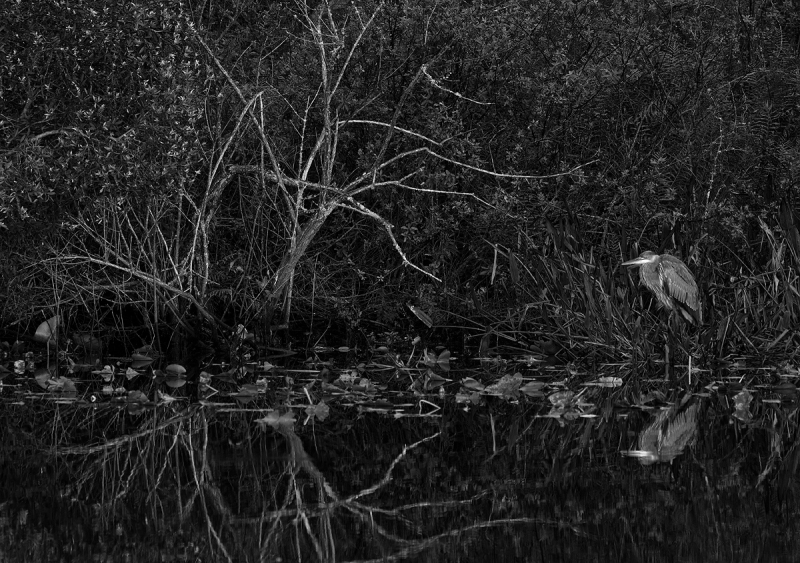 Sil-ff-Pro-UnExp-1-BW-Great-Blue-Heron-immature-by-canal-_A921506-Indian-Lake-Estates-FL-1-copy