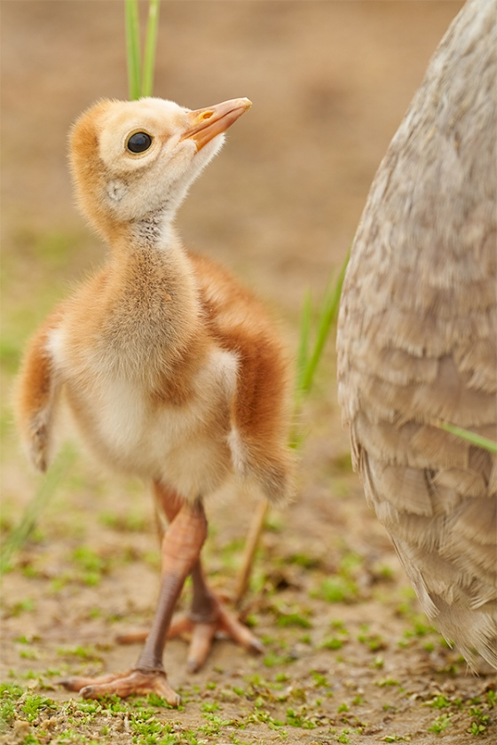 Snadhill-Crane-1-day-old-chick-looking-up-at-adult-_7R49421-Indian-Lake-Estates-FL-1
