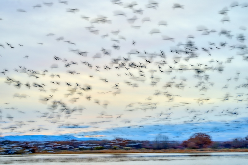Snow-Geese-blast-off-on-dull-day-_A923588-Bosque-del-Apache-NWR-San-Antonio-NM-1