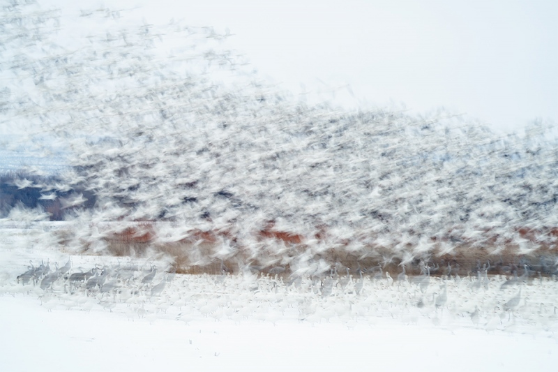 Snow-Geese-blast-with-cranes-_7R43874-Bosque-del-Apache-NWR-San-Antonio-NM-1