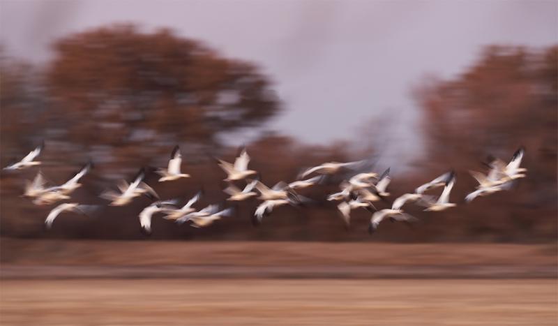 Snow-Geese-pan-blur-_7R41935-Bosque-del-Apache-NWR-San-Antonio-NM-1