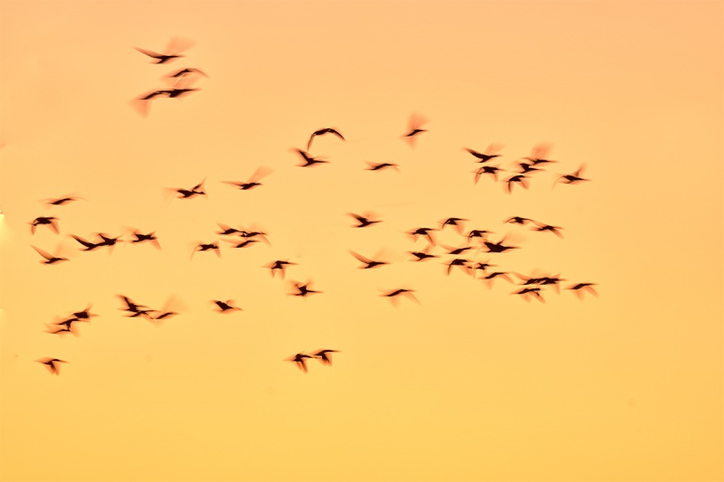 Snow-Geese-pre-dawn-_7R40945-Bosque-del-Apache-NWR-San-Antonio-NM-1