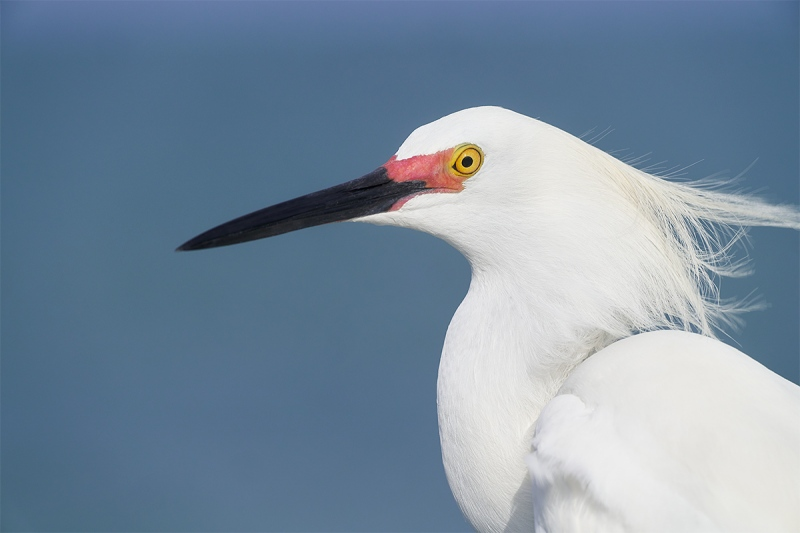 Snowy-Egret-breeding-plumage-head-portrait-_A7R0508-Fort-DeSoto-Park-Tierra-Verde-FL-1
