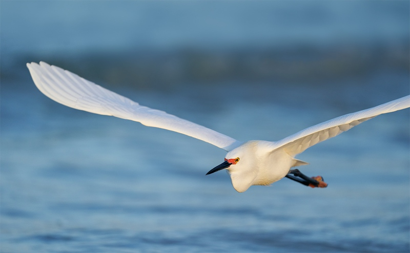 Snowy-Egret-pano-flight-_A9B0063-Fort-DeSoto-Park-FL-1