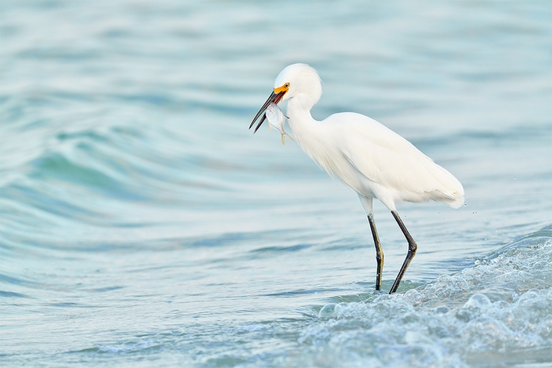Snowy-Egret-with-baitfish-_DSC0889-Fort-DeSoto-Park-Pinellas-County-FL-1