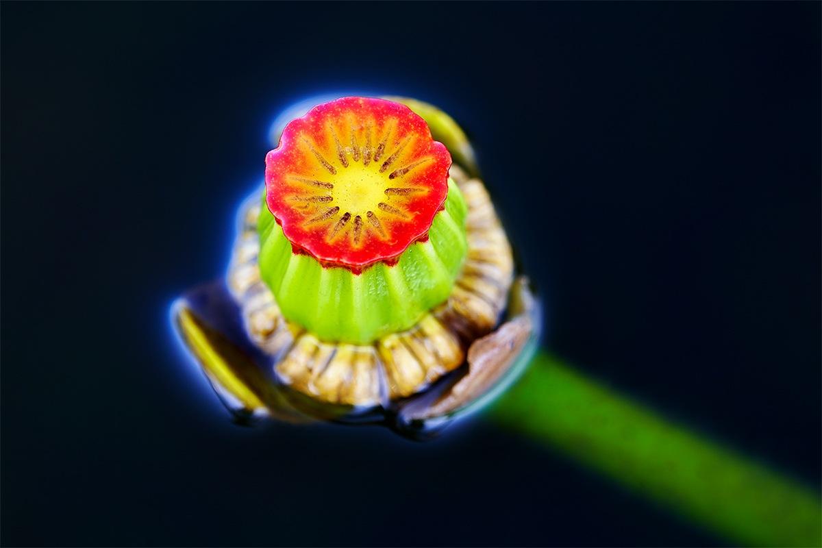 Spatterdock-Flower-BLACKER-_7R45304-Indian-Lake-Estates-FL-1
