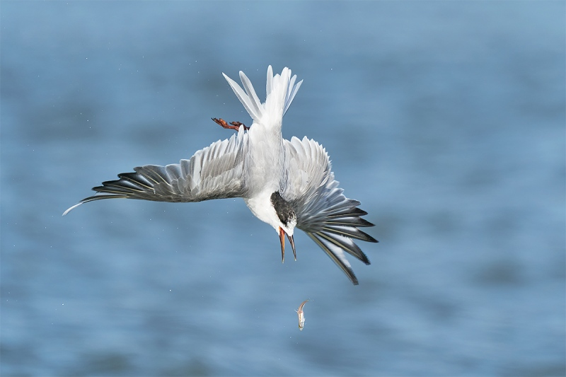 Sterna-Tern-A-going-after-dropped-fish-_A9B3240-Fort-DeSoto-Park-FL-1