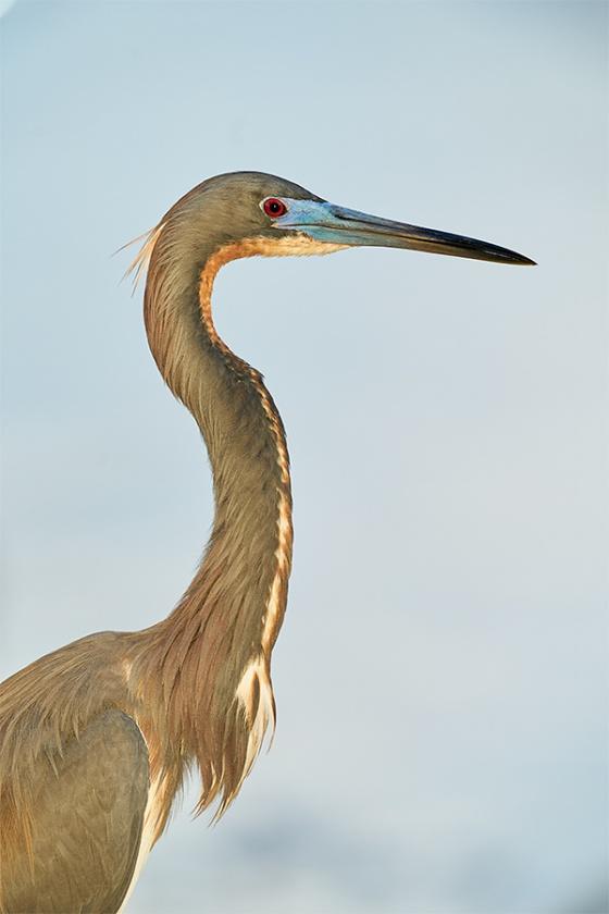 Tricolored-Heron-_A9B1079-Brandon-Rookery-FL-1