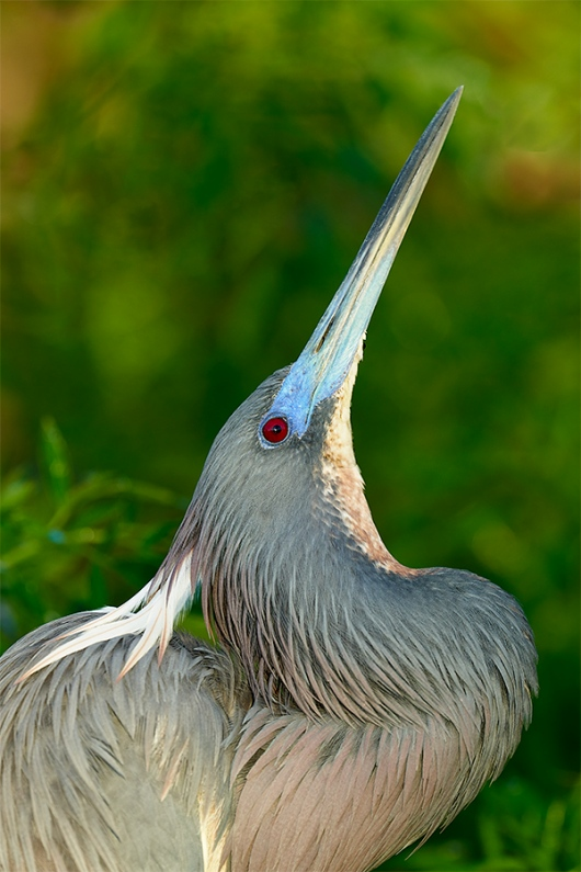Tricolored-Heron-displaying-_7R41176-Gatorland-FL-1
