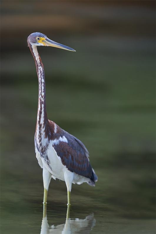 Tricolored-Heron-juvenile-_DSC0706-Fort-DeSoto-Park-Pinellas-County-FL-1