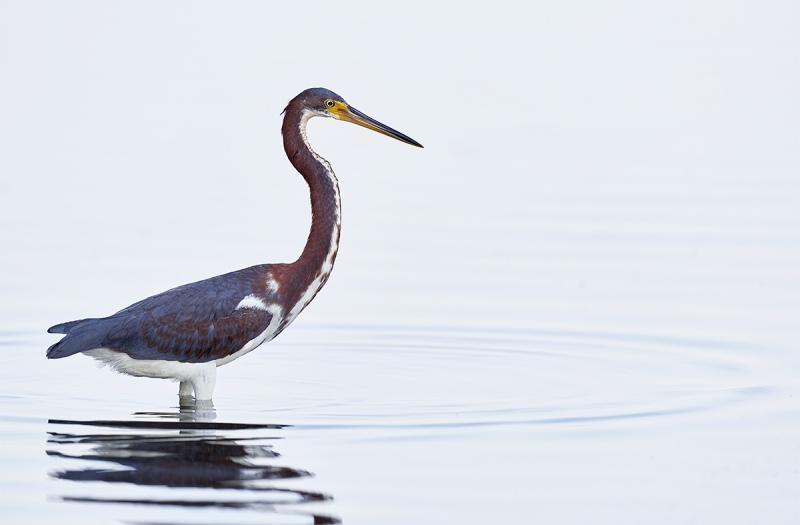 Tricolored-Heron-juvenile-in-white-water-_DSC0706-Fort-DeSoto-Park-Pinellas-County-FL-1