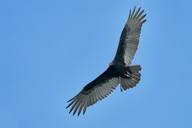 Turkey-Vulture-ISO-3200-_DSC7028-Indian-Lake-Estates-FL-1