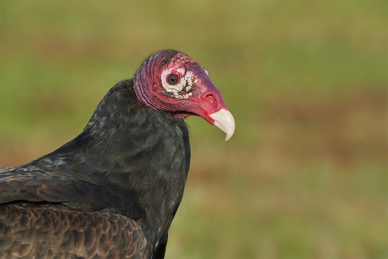 Turkey-Vulture-head-and-neck-portrait-_DSC5700-Indian-Lake-Estates-FL-1