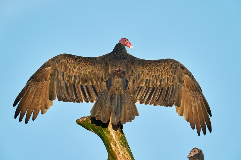 Turkey-Vulture-sunning-_A9B4381-Indian-Lake-Estates-FL-1