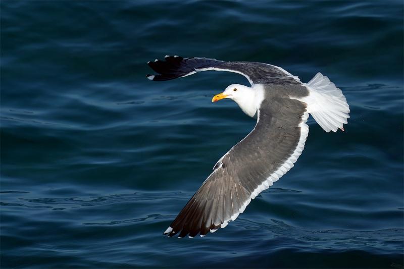 Western-Gull-arced-wings-flight-_A928495-La-Jolla-CA-1