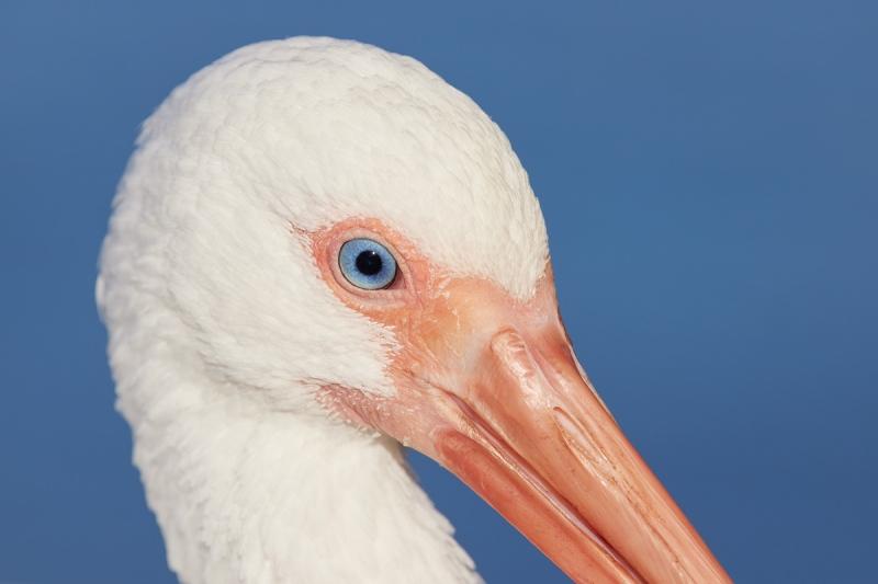 White-Ibis-face-portrait-_Q5A0394-Lakeland-FL-1