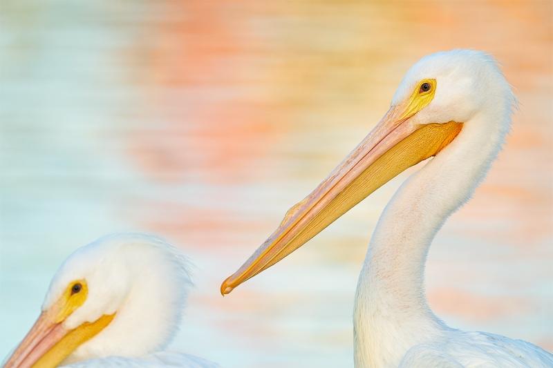 White-Pelican-juxtapoosition-_A925266-Lakeland-FL-1