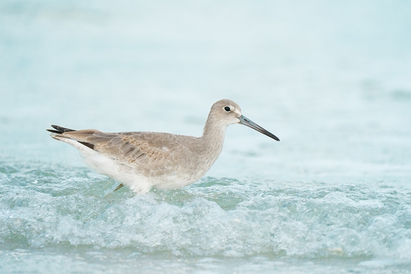 Willet-first-winter-in-surf-_A9B5875-Fort-DeSoto-Park-FL-2