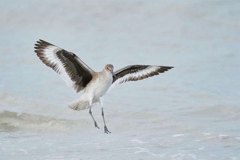 Willet-landing-_A920145-Fort-DeSoto-Park-Tierra-Verde-FL-1