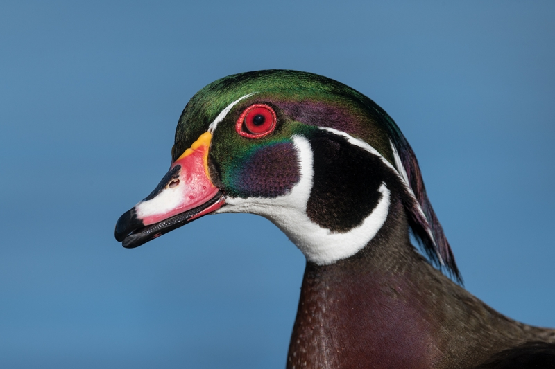 Wood-Duck-head-portrait-_MAI9229--San-Diego,-CA