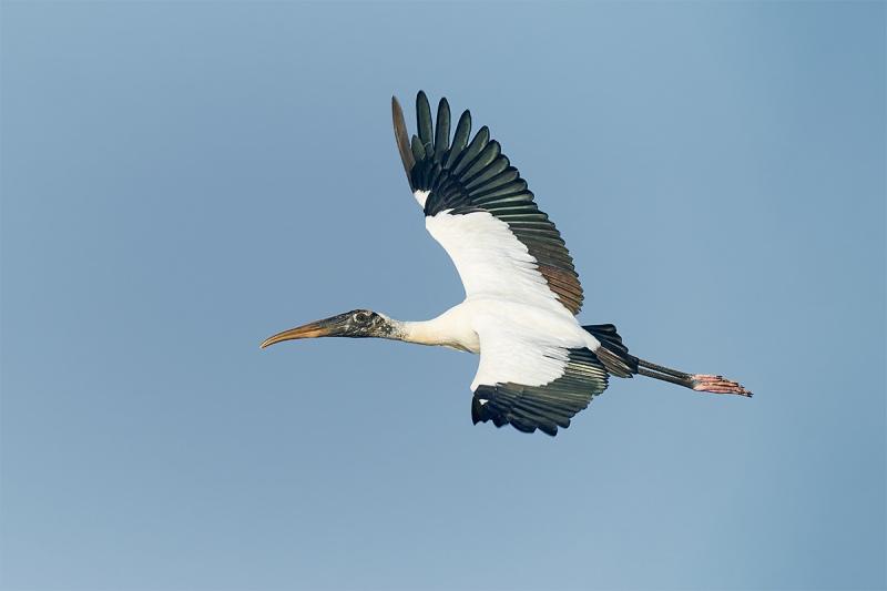 Wood-Stork-flat-flight-_A920759-Sebastian-Inlet-FL-1