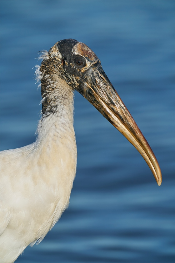 Wood-Stork-head-portrait-_A920720-Sebastian-Inlet-FL-1