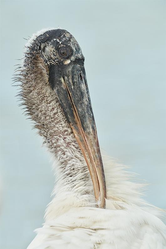 Wood-Stork-preening-neck-_DSC0265-Sebastian-Inlet-FL-1