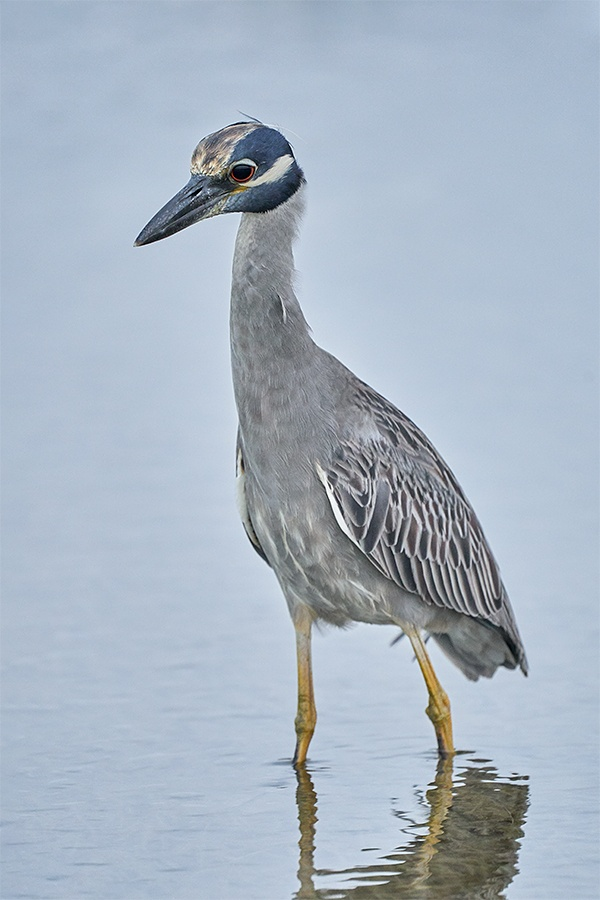 Yellow-crowned-Night-Heron.-ISO-10000-_A929826-Fort-DeSoto-Park-Tierra-Verde-FL-1
