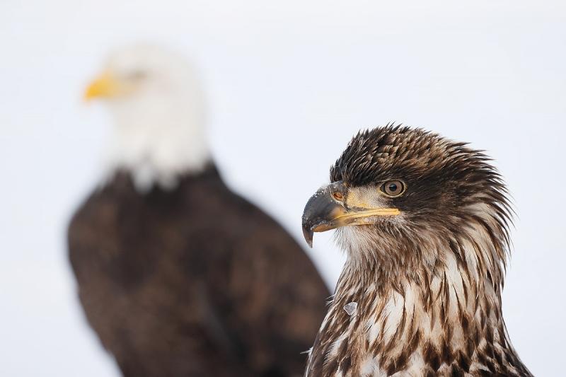 clemens-Bald-eagle-juvenile-and-adult-juxtaposition_95I4395-Kachemak-Bay-Kenai-Peninsula-AK-USA