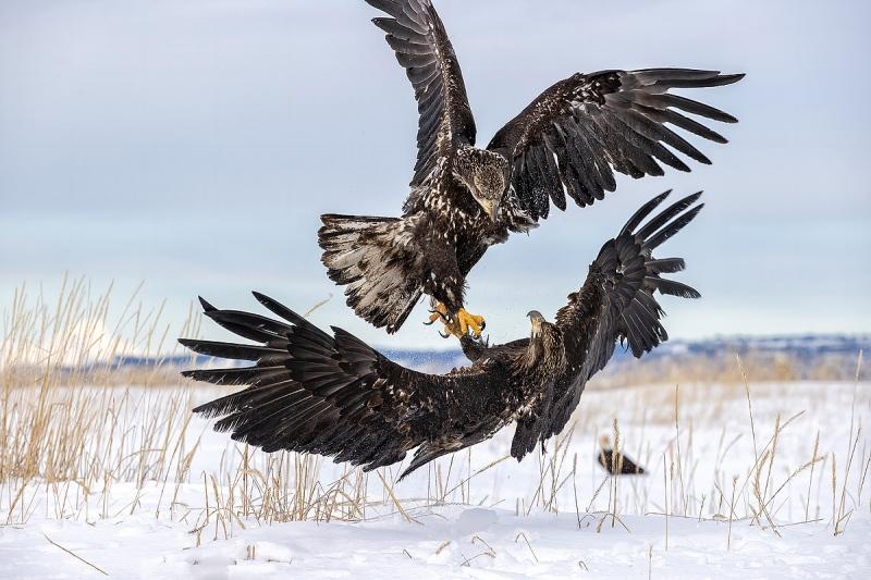 clemens-Bald-eagle-juveniles-fighting_95I3983-Kachemak-Bay-Kenai-Peninsula-AK-USA