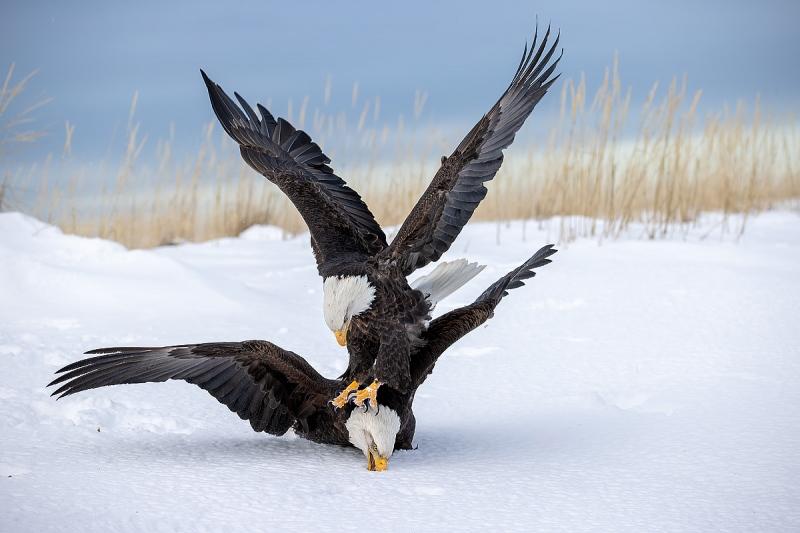 clemens-Bald-eagles-fighting-in-the-snow_95I2993-Kachemak-Bay-Kenai-Peninsula-AK-USA