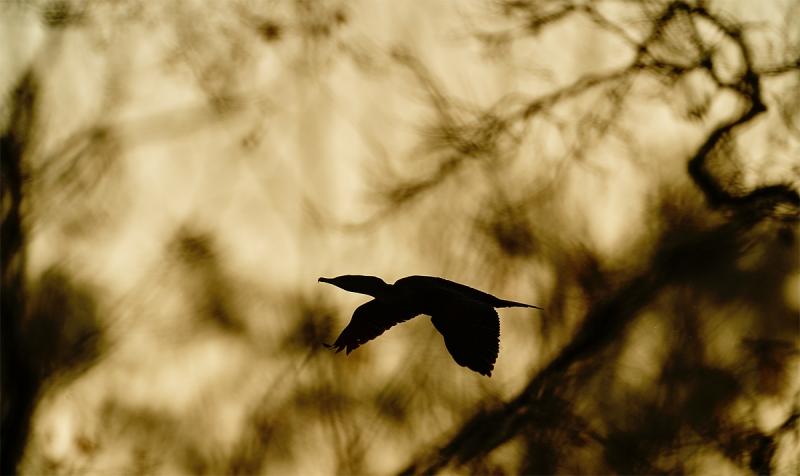 cormorant-flying-behind-tree-_A920406-Santee-Lakes-CA-1