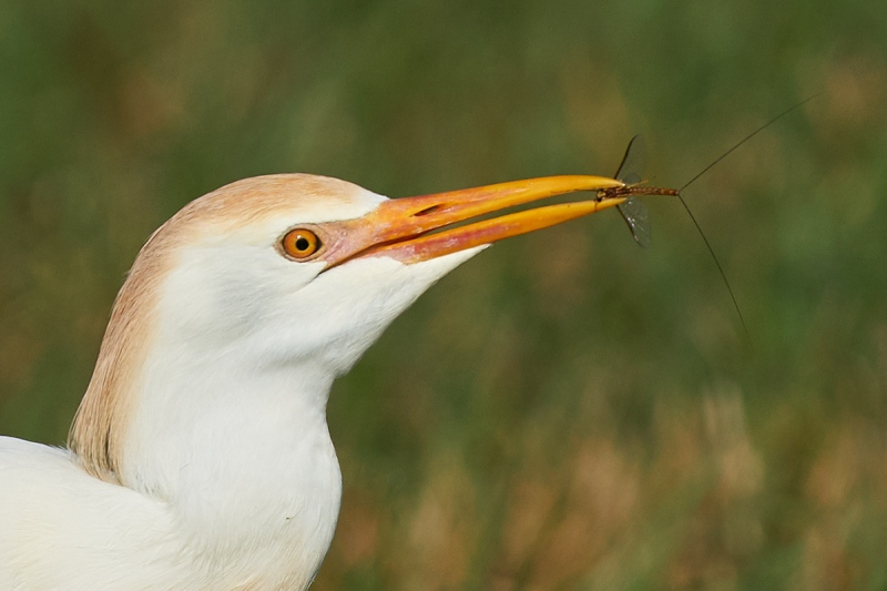 crop-to-head-Cattle-Egret-with-mayfly-_A923730-Indian-Lake-Estates-FL-1
