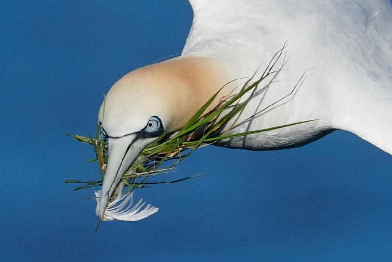 gannet-head-w-grass