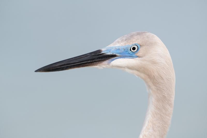 hybrid-heron-egret-in-breeding-plumage-_DSC6429--Fort-DeSoto-Park,-FL