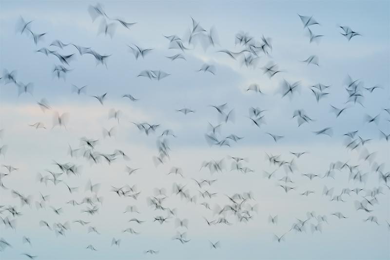 ibis-blast-off-blur-_A923445Anahuac-NWR-TX-1