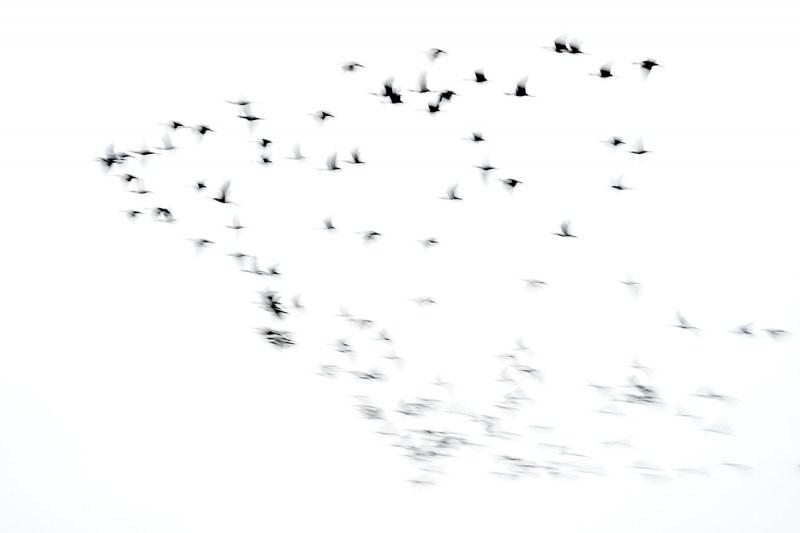 ibis-flock-blur-_A923331Anahuac-NWR-TX-1