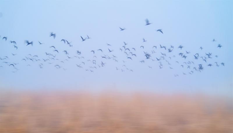 ibis-flock-flight-in-fog-A-A9B0025Anhauac-NWR-TX-1