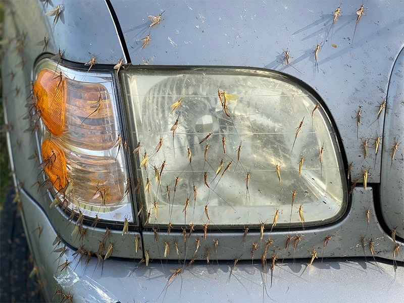 mayflies-on-headlight-A-IMG_0057