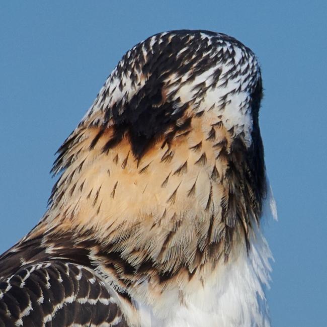osprey-back-of-head-_BUP9609-Indian-Lake-Estates-FL-1