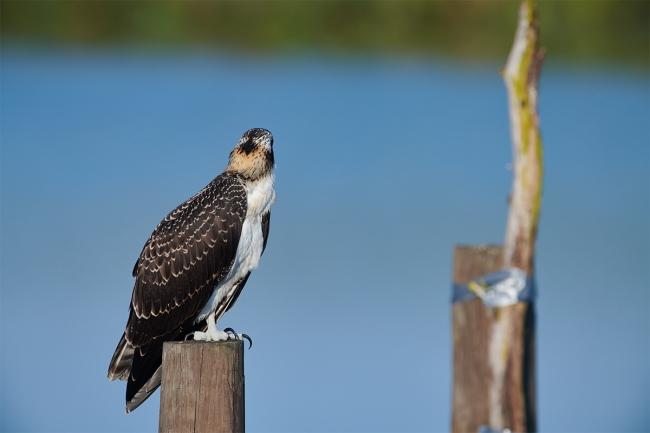 osprey-back-of-head-original-_BUP9609-Indian-Lake-Estates-FL-1
