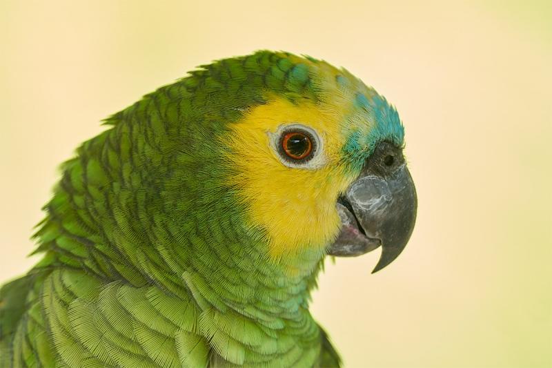 parrot-sp-captive-_7R41188-Gatorland-FL-1