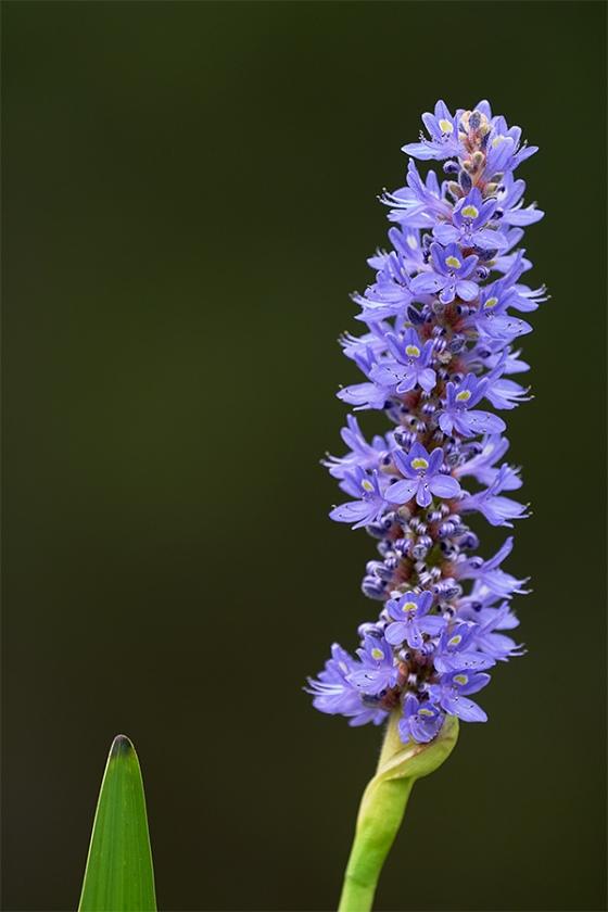 pickerelwee-blossom-_7R47218-Indian-Lake-Estates-FL-1