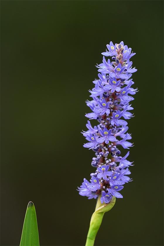 pickerelweed-blossom-EXP-_7R47218-Indian-Lake-Estates-FL-1