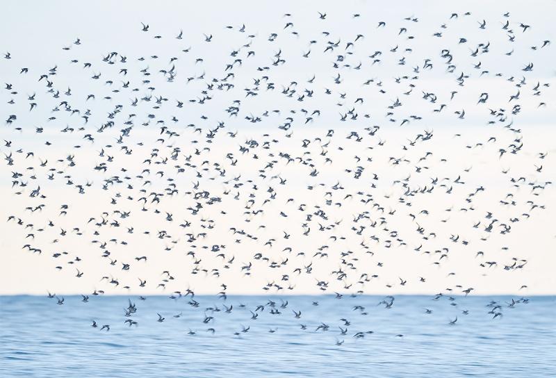 shorebird-flock-in-flight-mostly-Rd-Knot-_A9B4916-Fort-DeSoto-Park-FL-1
