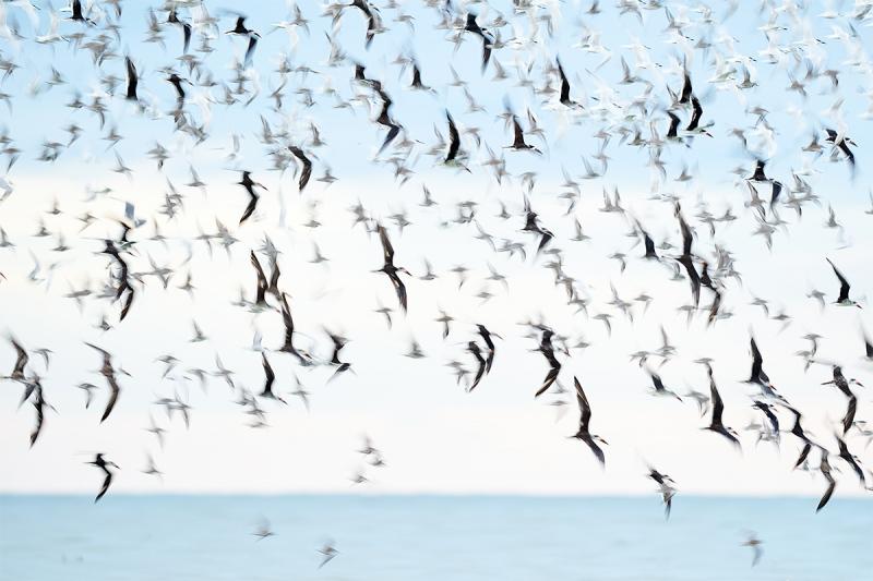 skiimer-tern-shorebird-blur-_A9B4855-Fort-DeSoto-Park-FL-1