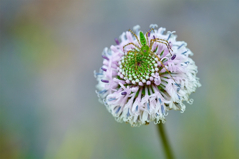 spider-on-Grassleaf-Barbaras-Buttons-Marshallia-graminifolia-blossom-_7R47786-Indian-Lake-Estates-FL-1