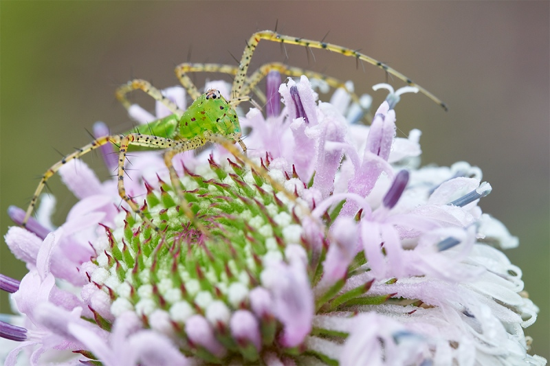 spider-on-Grassleaf-Barbaras-Buttons-Marshallia-graminifolia-blossom-_7R47950-Indian-Lake-Estates-FL-1
