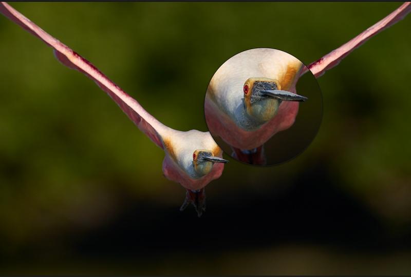 spoonbill-head-on-100