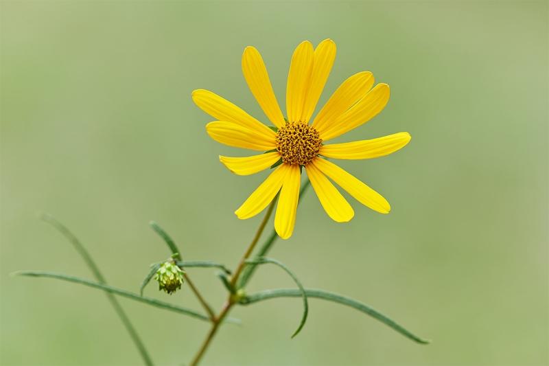 sunflower-aster-_7R49185-Indian-Lake-Estates-FL-1